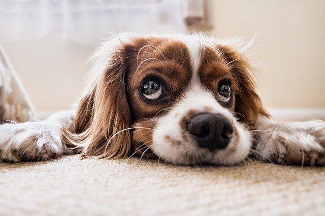 velké oči psa