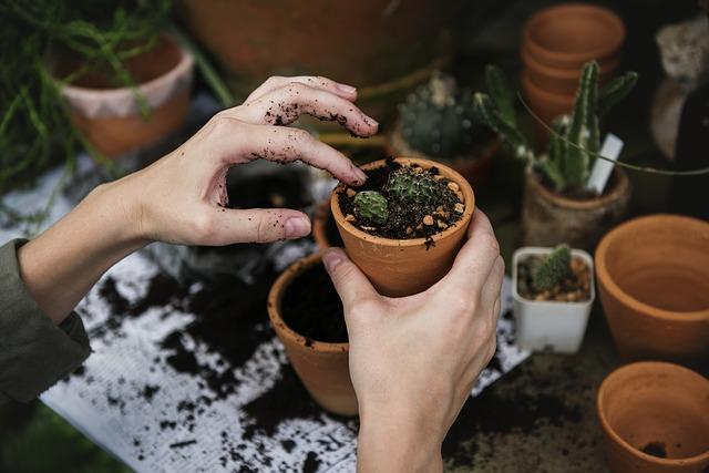 kaktusy s květináčku