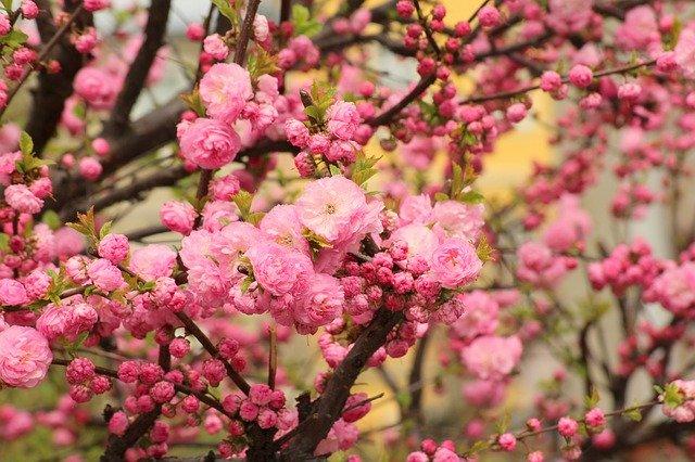 růžově kvetoucí mandloň