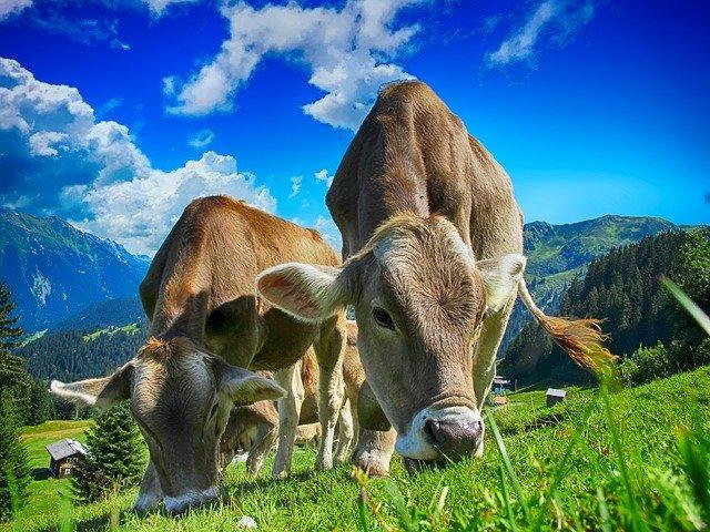 krávy v alpách